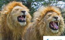 狮群的狩猎主要是雄狮来完成的吗